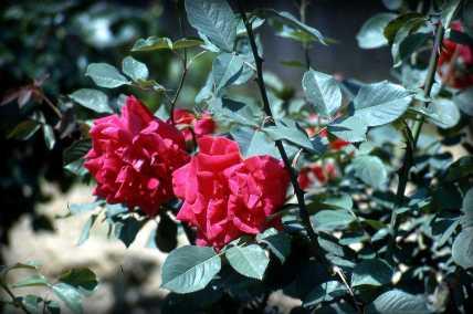 roses_delano_1960s_1